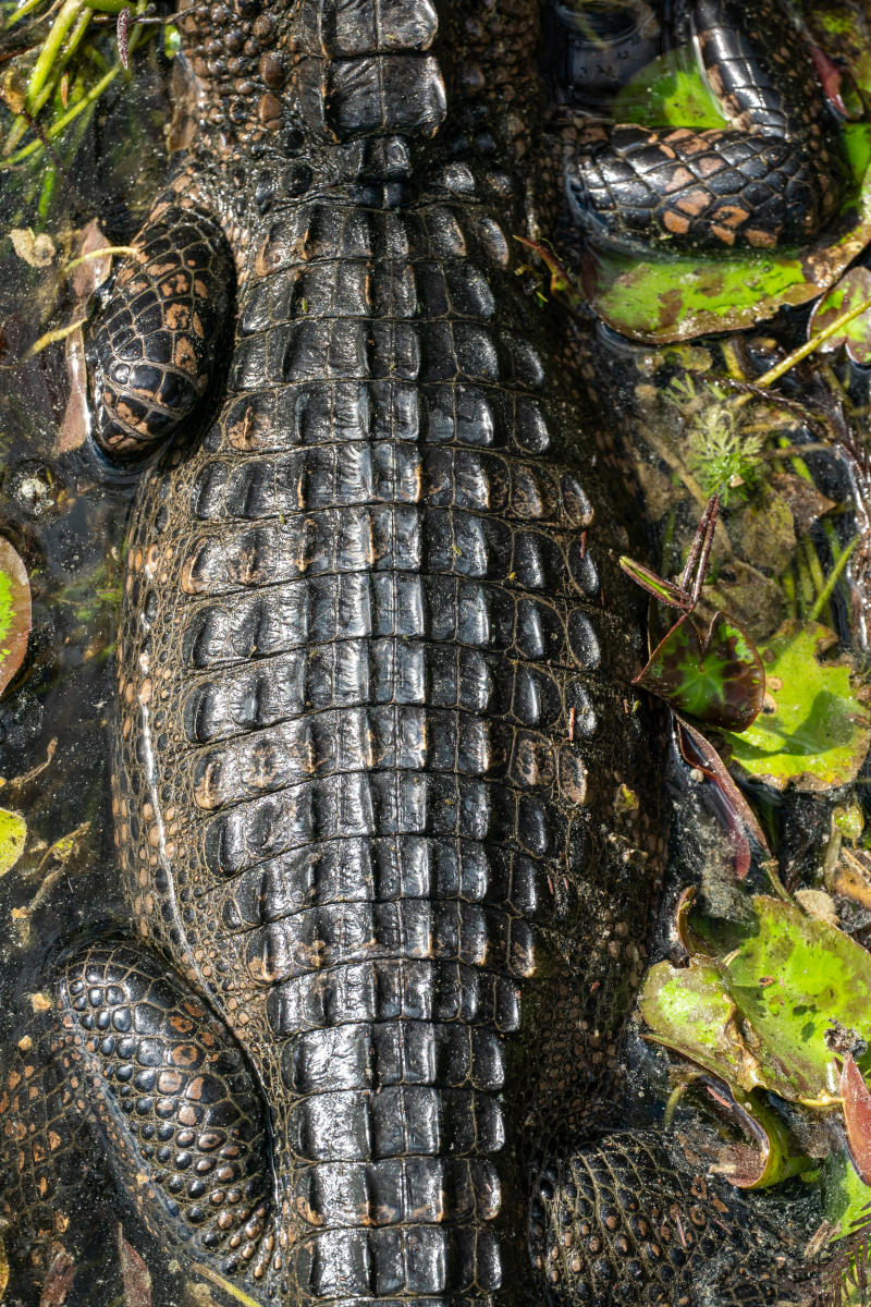 An alligator in Kirby Storter Roadside Park in Big Cypress National Preserve