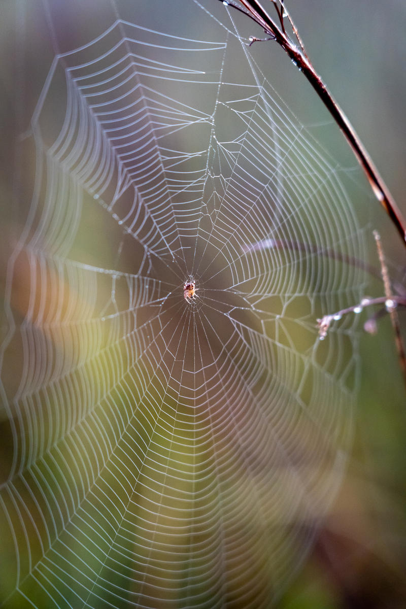 A small spider as the sun rises on sawgrass in Everglades National Park.