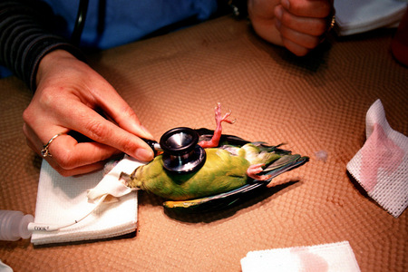 A parakeet is prepared for surgery