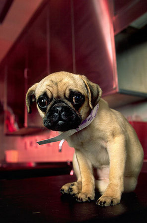 A pug puppy that was hit by a car