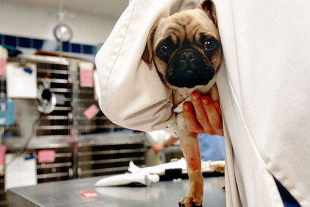 A pug pup is examined