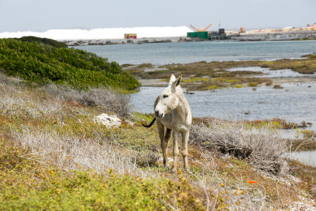 Wild Donkey roaming near the salt works, Bonaire Island, Dutch Antilles