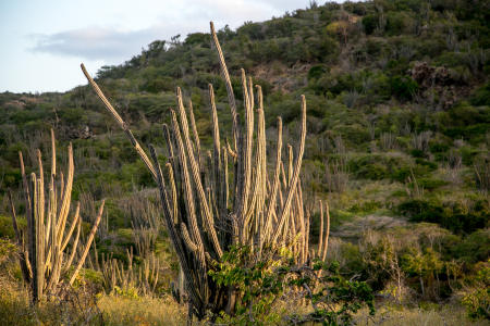 Pipe Organ Cactus, Bonaire Island, Dutch Antilles