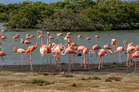 Flamingos, Bonaire Island, Dutch Antilles