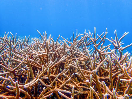 Staghorn coral, Bonaire.
