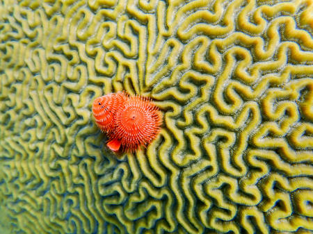 Brain coral, Bonaire Island, Dutch Antilles