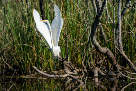 A Great Egret alights on the Turner River in Big Cypress Preserve