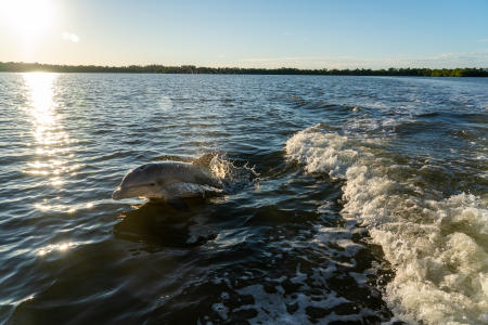 A dolphin swims along side a boat in Ten Thousand Islands