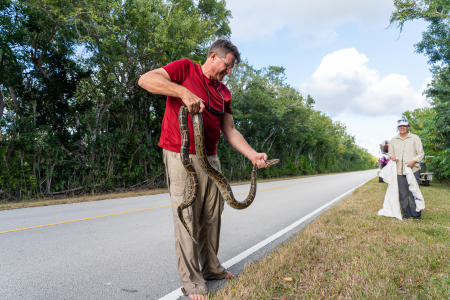 Garl Harrold, a long-time Everglades guide, holds a Burmese python that was alongside the road near West Lake in Everglades National Park.  The non-native and harmful snakes are collected, bagged, and turned into Park authorities.