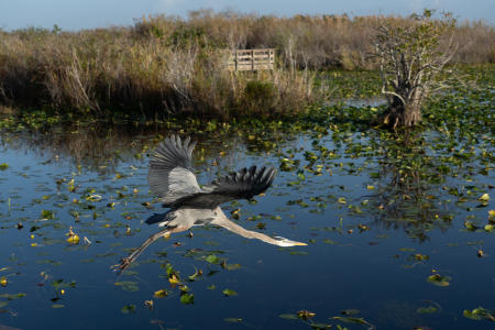 A blue heron at Royal Palm, Anhinga Trail, Everglades National Park.