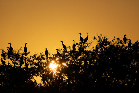 Cormorants nesting for the evening in Ten Thousand Islands, off the coast of Everglades City.