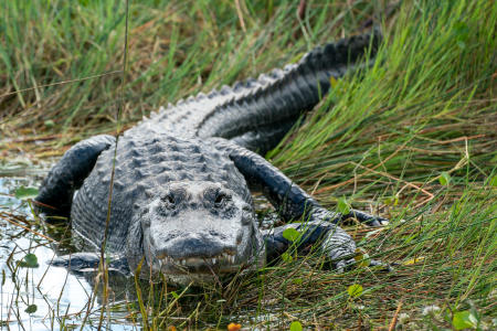 An alligator in the Everglades National Park.